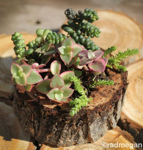 Succulents in a Tree Bark Planter.