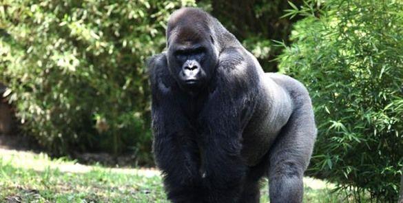 """Descartan que muerte de gorila """"Bantú"""" fuera por anestesia"""