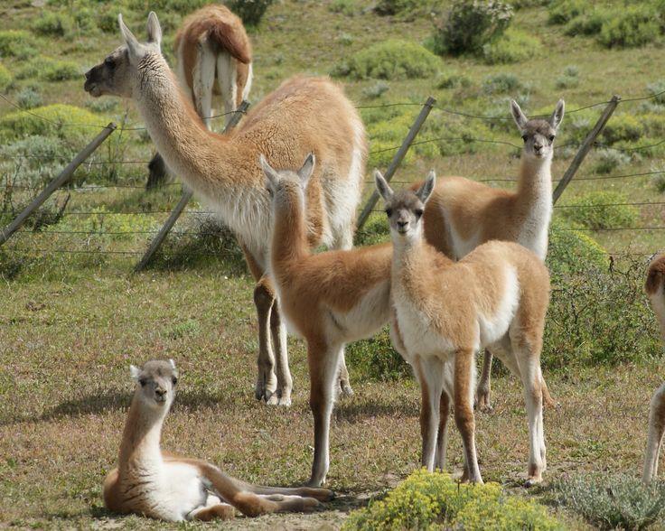 Llamas cachorro en región de Los Lagos, Chile