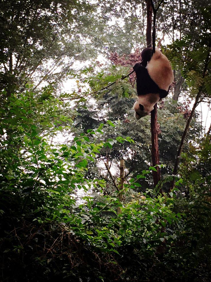 No sabías que las pandas subían a los árboles, increíble !