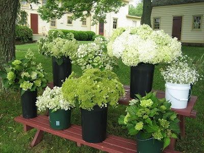 so many varieties of white hydrangeasAir Farms, Farms Long, Long Island, Farmhouse Design, Flower Power, Farms Hydrangeas, Flower Farms, Frugal Farmhouse, Salts Air