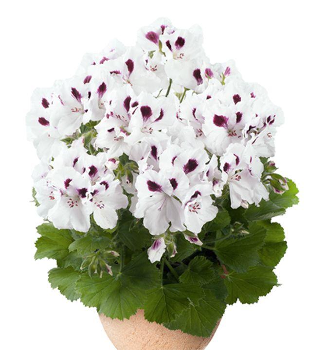Pelargónia veľkokvetá  ´ARISTO® WHITE WITH EYE´