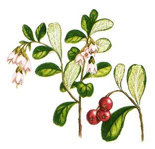 lingonberries...
