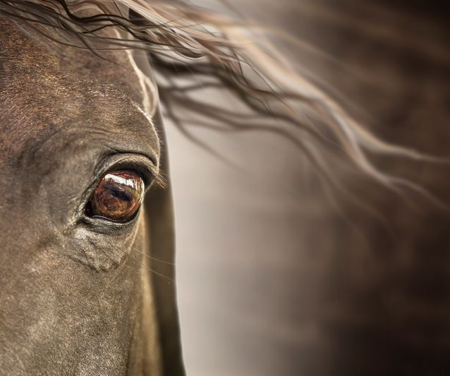 Horses mostly use monocular vision, meaning both eyes are used separately. So a horse can see and process different things happening on different sides of her body.