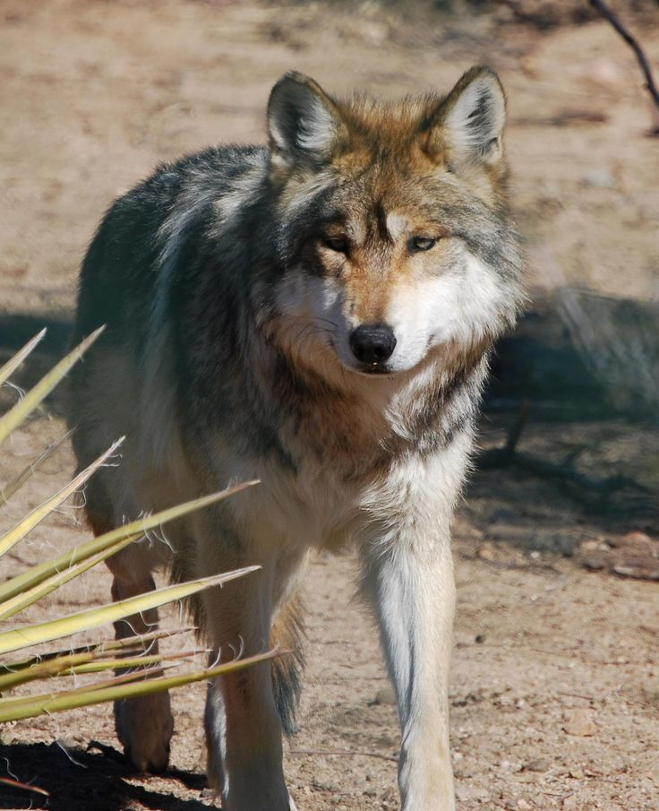 Mexican grey wolf...unfortunately, it is considered an endangered species.