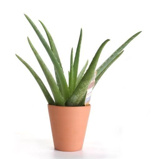 Les 8 meilleures images du tableau plantes vertes xxl sur - Entretien aloe vera interieur ...