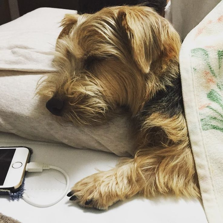 #dog #norfolkterrier #thatface #instadaily #pawstruck #pets_of_instagram #tflers #puppylover #mydogiscutest #excellent_dogs #cachorro #life #dogfeatures #chien #fluffy #puppylove #instapuppy #terriers #bestwoof #dogoftheday #ilovedogs #instagood #cutie #d http://ilovedogs.win