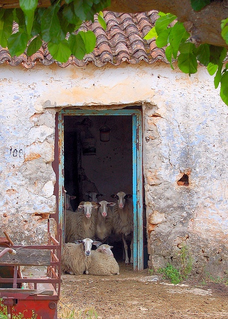 Room full of sheep in the village of Armeni on the Greek island of Crete by Peace Correspondent, via Flickr