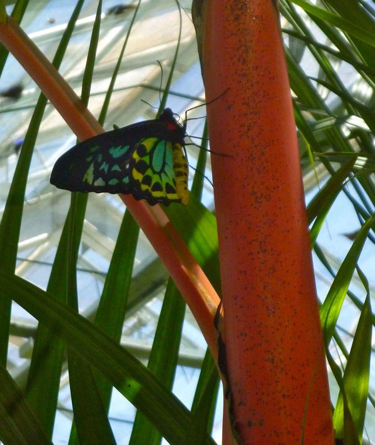 Cairns birdwing