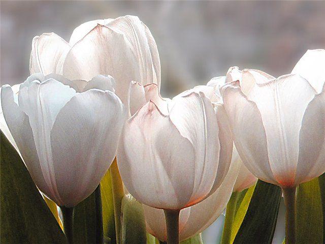 белые тюльпаны - Pesquisa Google