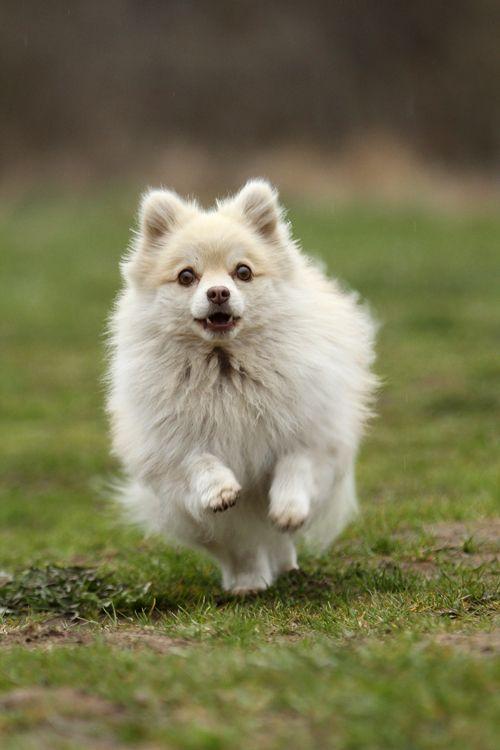 11 best images about Kleinspitz on Pinterest | Puppys ...