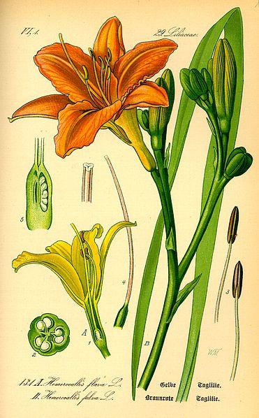 Hemerocallis fulva (Daylily). by Prof. Dr. Otto Wilhelm Thomé Flora von Deutschland, Österreich und der Schweiz 1885, Gera, Germany