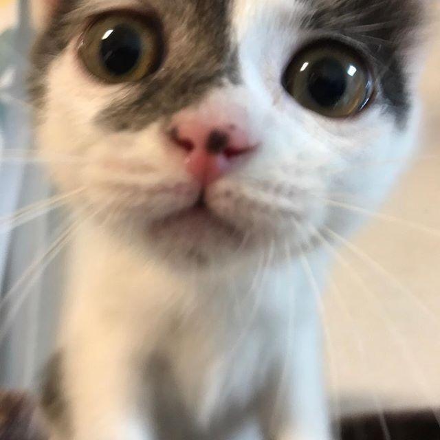 . 友達が激写 可愛すぎませんか… . #猫 #子猫 #愛猫 #猫のいる生活 #ねこ部 #ねこあつめ #ねこ好き #にゃんこ #にゃんすたぐらむ #生後2ヶ月 #成長記録 #チロ #猫好きさんと繋がりたい #激写 #可愛すぎ #即トップ画 # #cat #love #pet #