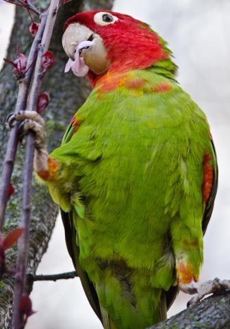 El aratinga de Guayaquil o loro de cabeza roja (Psittacara erythrogenys) es una especie de ave psitaciforme de la familia de los Psittacidae nativa del noroeste de Sudamérica. Ha sido el décimo loro neotropical en la cantidad de importaciones a Estados Unidos con más de 26.000 entre 1981-1985, y se ha asilvestrado en California. En 1994 fue reclasificado como una especie casi amenazada.