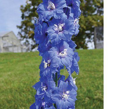 Delphinium elatum Blue Nile<br>Blackmore & Langdon