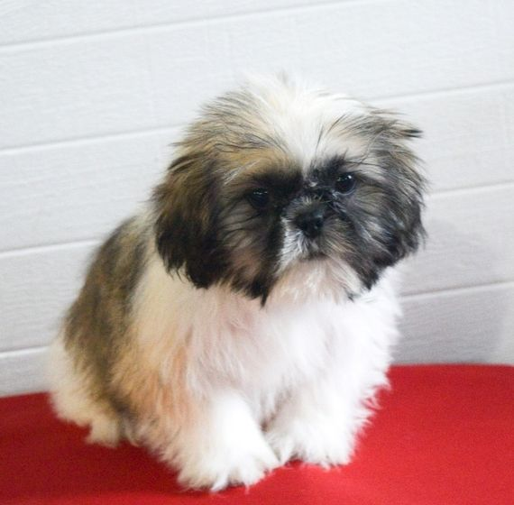 Sandy Is A Female Shih Tzu Puppy For Sale At Puppyspot Call Us