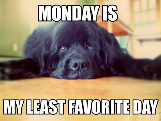Newfoundland Dog Monday Meme Newfoundland Pinterest
