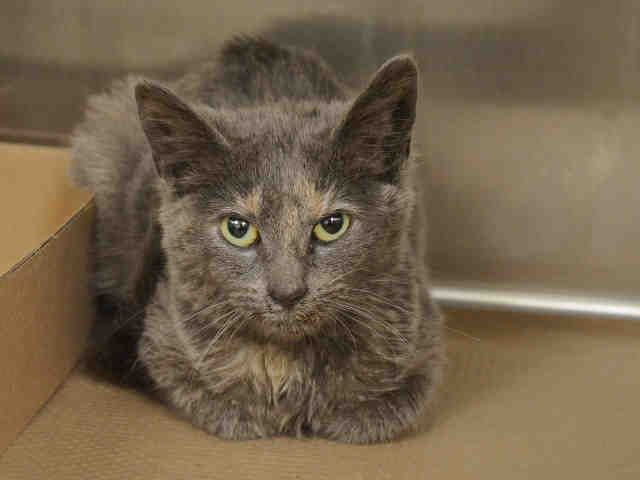 PATCHES - A1062859 - - Manhattan  ***TO BE DESTROYED 01/17/16***12 WEEK OLD KITTEN ON DEATH ROW! PATCHES' NOTES SAY OF HER: 'Reaction to touch: Patches seems unsure with her surroundings and slowly retreats to the back, but once touched she began to head-butt the assessor's hand and appreciate petting on the head and body. PATCHES is FELV+, and at her age, this may, with retesting, turn around, but it also might not. PATCHES status makes her IN GRAVE DANGER-AC