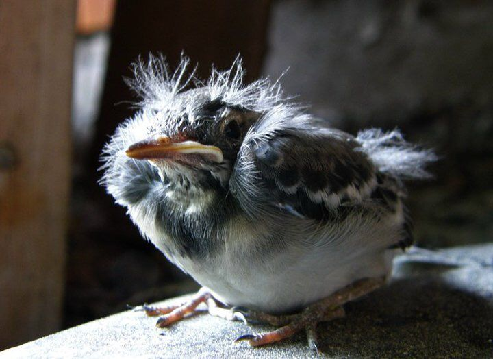 The Real Angry Bird from Finland