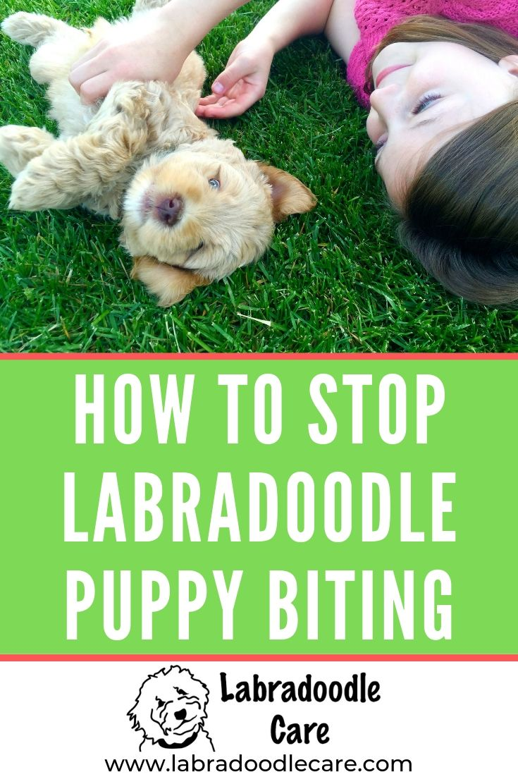 How To Stop Labradoodle Puppy Biting Labradoodle Puppy Puppy Training Labradoodle Care