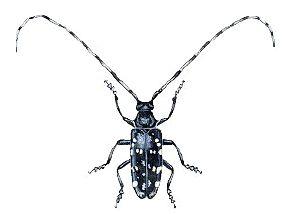 Asian long-horned beetle smithsonian