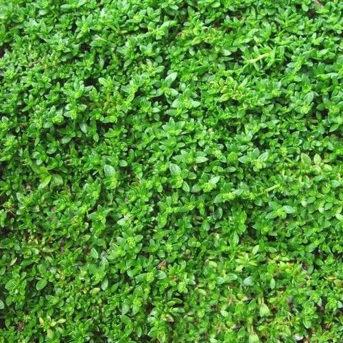 Rupturewort Green Carpet Ground Cover Seeds (Herniaria Glabra) 200+Seeds - Under The Sun Seeds - 2