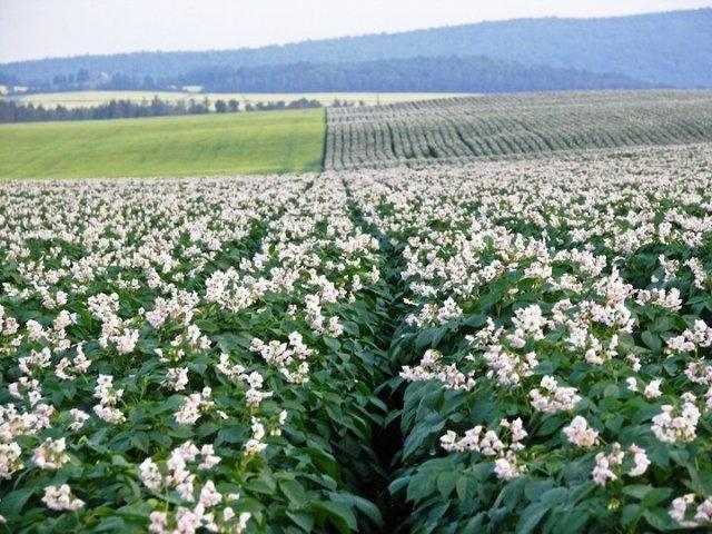 Potato Blossoms in Aroostook County, Maine