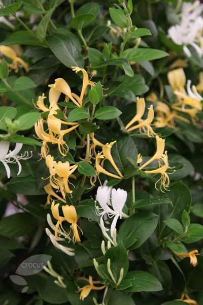 Lonicera japonica 'Halliana' - Japanese Honeysuckle. In my opinion, the most fragrant--and most rampant. In the U.S., Japanese honeysuckle is outlawed, but look for honeysuckle with Japanese lineage.