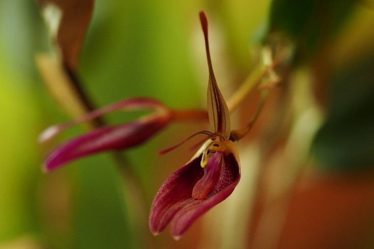 This Restrepia sanguinea specimen has been flowering prolifically since June 2016, pictured here on the 24th November 2016.