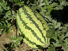 Watermelon is a warm season fruit loved by just about everyone. On a hot summer day, nothing tastes better than a nice slice of watermelon. Learn how to grow watermelons in the following article.
