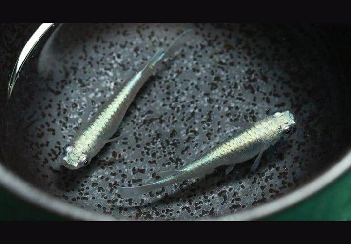 龍鱗ミユキメダカ - 龍の鱗のような印象をうける美しい鱗と輝くボディが魅力です。
