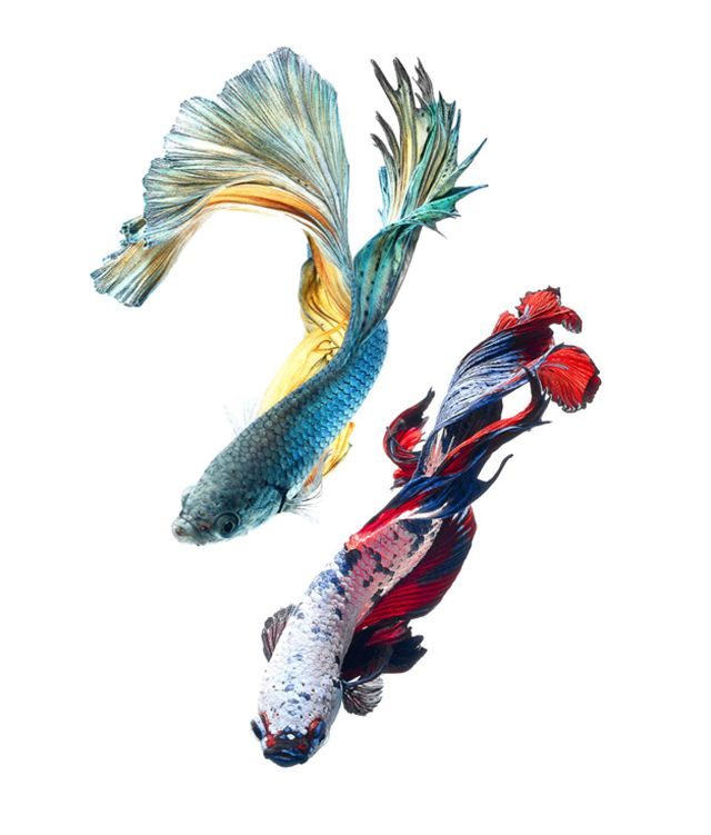 Siamese fighting fish (Betta)