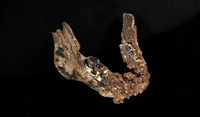 Homo erectus was not alone in ancient Africa. Newly discovered fossil evidence, detailed in the latest issue of Nature, strongly suggests that no fewer than three distinct species of early humans from the genus Homo co-existed on the continent between 1.7 and 2 million years ago.: Complicated Human, History, Human Kind, Fossil Discovery, Physics Anthropology, Fascinators Fossil, Human Body, Human Families, Fossil Complicated