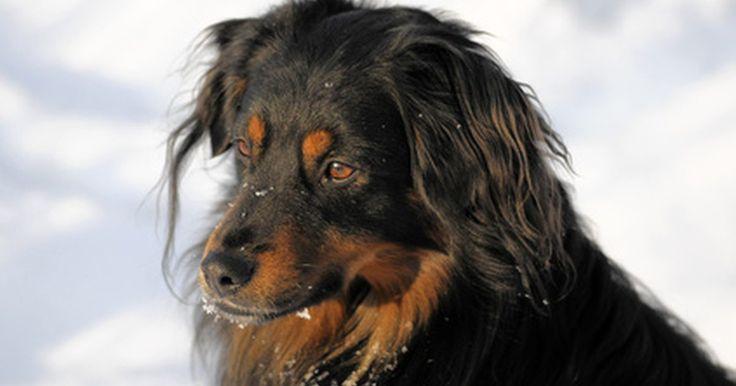 Como remover resina e seiva de árvore do pelo de um cachorro. A seiva de pinho e o pelo de cachorro não são uma boa combinação. A seiva pode chegar na pele facilmente, mas é muito problemática de tirar. Antes de pelar o cachorro (e arrancar seus próprios cabelos de frustração), tente estas alternativas. Devolver uma aparência saudável à pelagem do cachorro pode não ser tão difícil quanto você pensa.