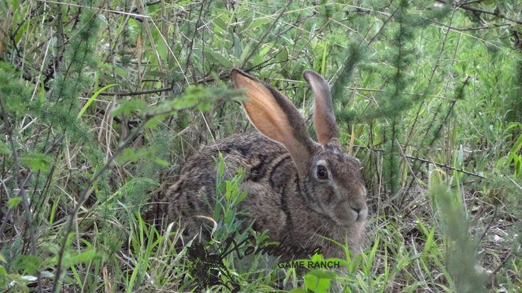 Photo of the day TOUCH this image: Scrub Hare - Xombana, DinokengGameReserve by Xombana