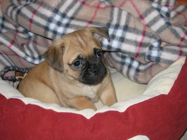 2nd generation Jug Puppy-Jack Russell/Pug mixture.  Best of both worlds <3