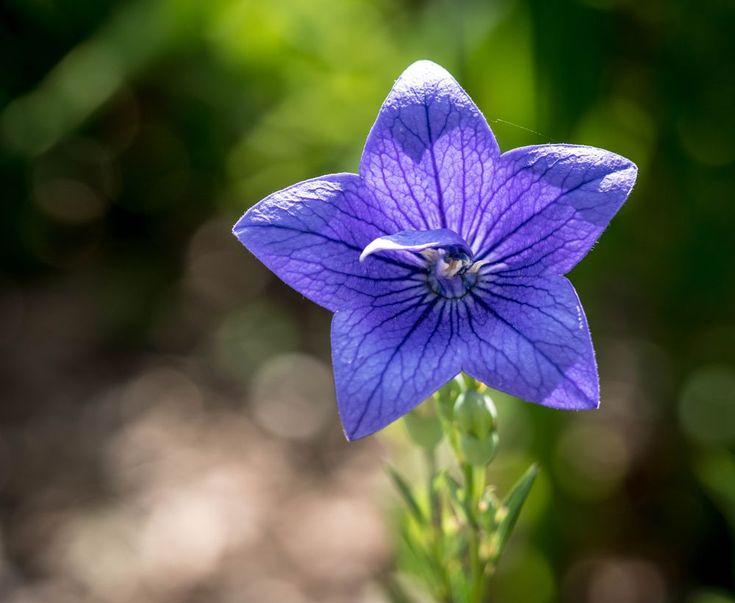 Star Flower ..... by makbet666