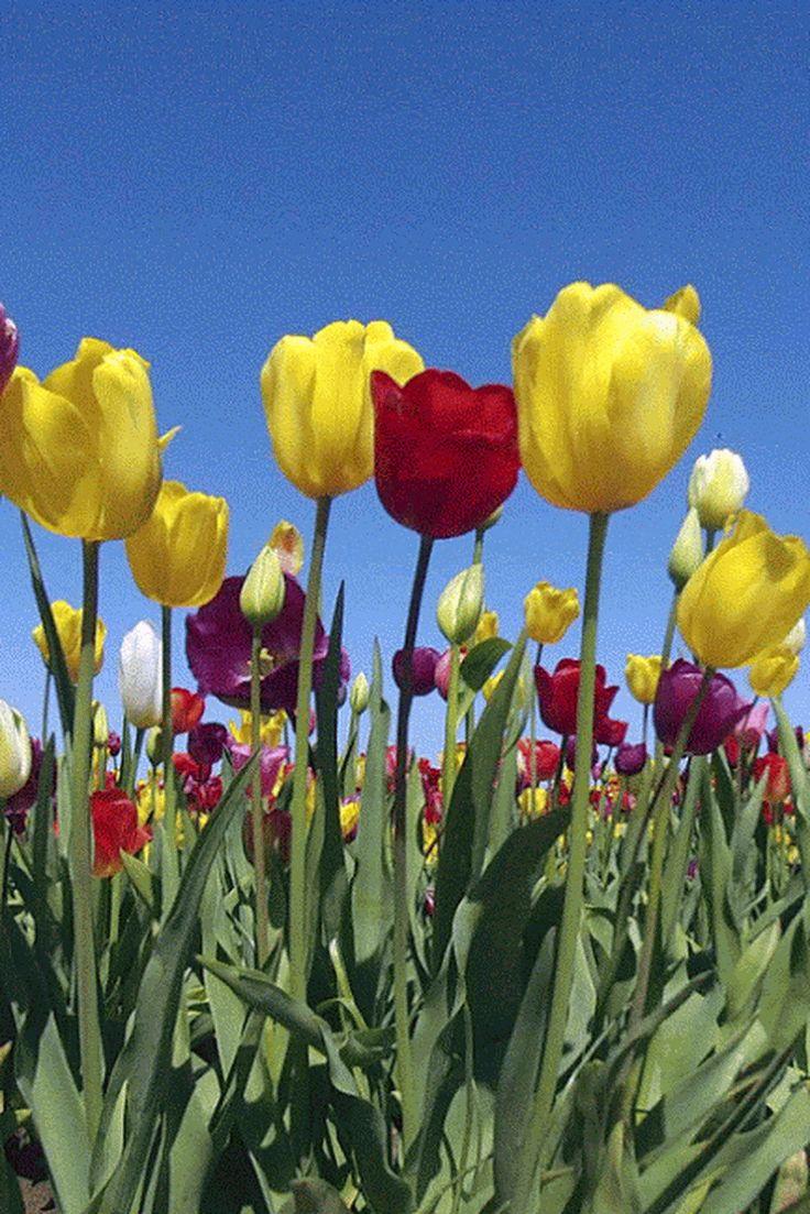 офиса гиф тюльпаны распускаются побегут