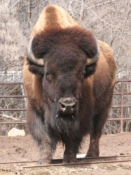 North American Bison | ... bison bonasus or european bison is larger than the american bison it