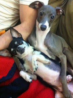 Kermit (the Italian greyhound) and marbles (the chihuahua ...