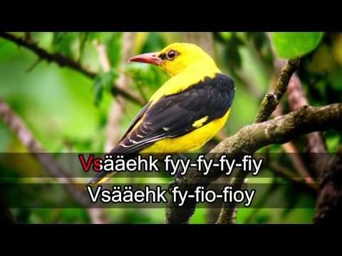 Lintukaraoke: Kuhankeittäjä (video 0:41).