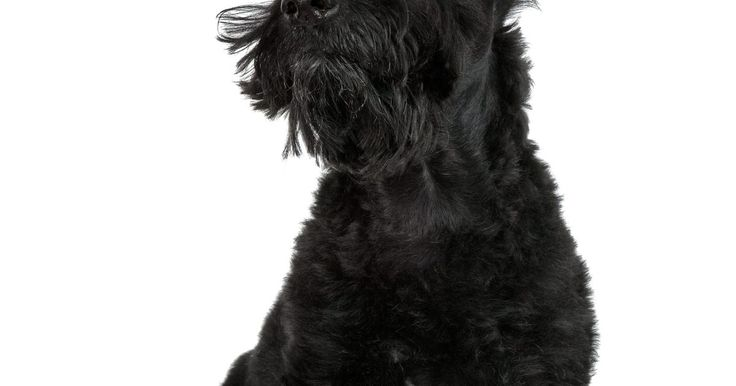 """Doenças de pele comuns em terriers escoceses. O terrier escocês, apelidado de """"scottie"""", é um terrier de pelos espessos que surgiu no século 18 na Escócia e era comumente usado para caçar insetos. O peso médio do scottie é entre 8 kg a 10 kg. Ele é um cão pequeno, de aproximadamente 22 cm a 25 cm de altura. Eles vivem de 11 a 13 anos com a dieta apropriada, exercício e cuidado veterinário. Um ..."""