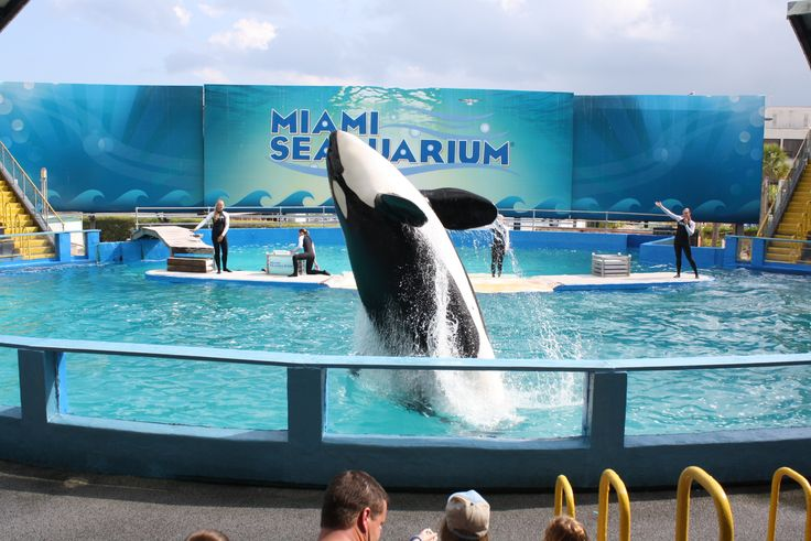Lolita still lives at the Miami Seaquarium and in the same tank that has been compared to the size of a hotel swimming pool. She is almost 50 years old now.