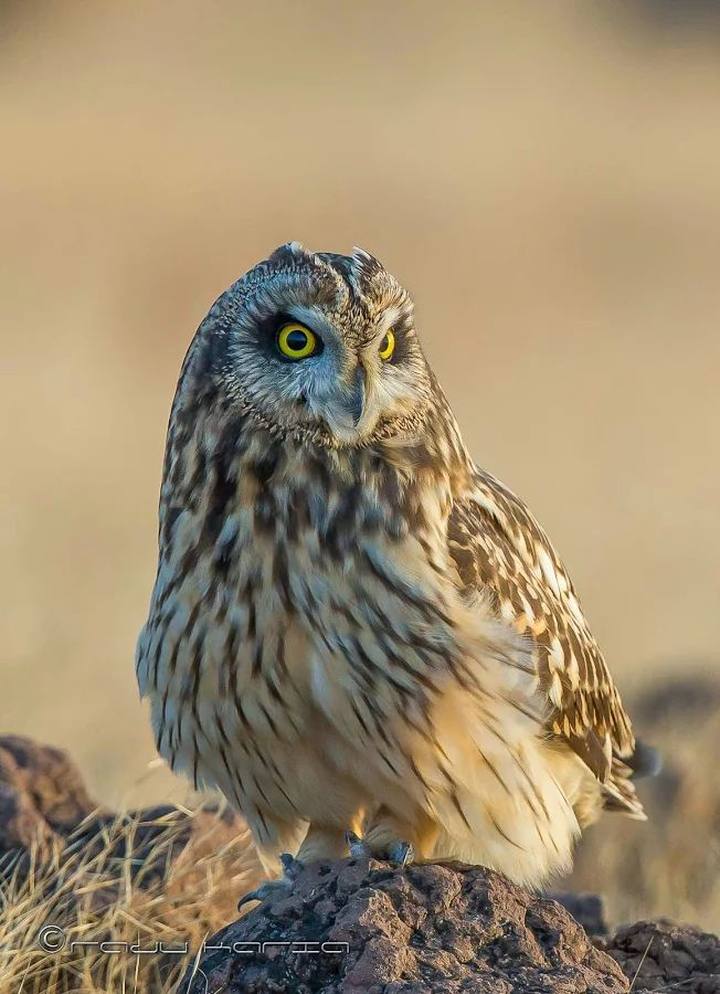 Short-eared owl India, Rajkot