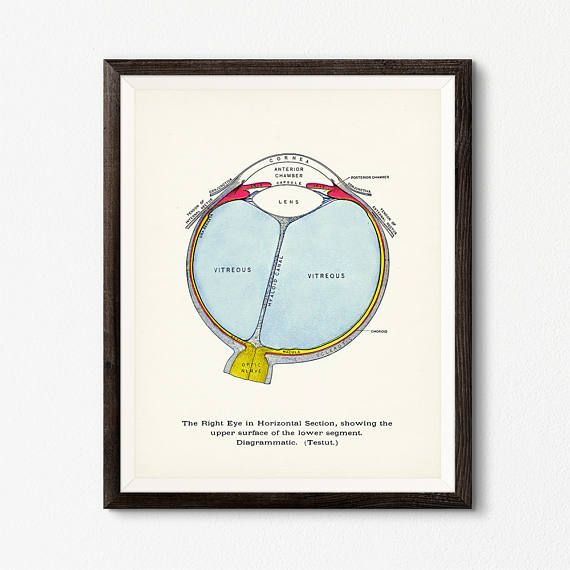 best 25 human eye diagram ideas on pinterest diagram of. Black Bedroom Furniture Sets. Home Design Ideas