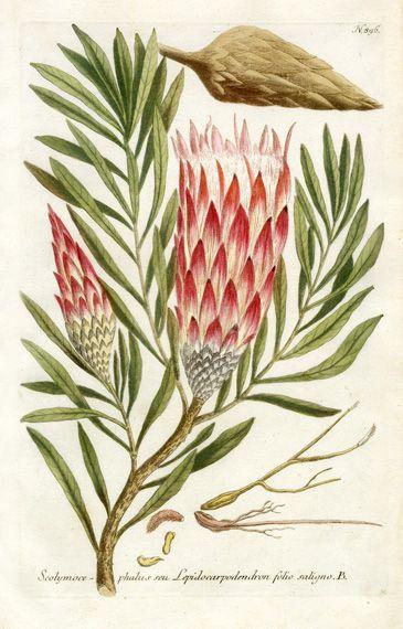 Johann Weinmann / Protea #botanical #illustrations #protea repinned by AMG DESIGN www.amgdesign.nz