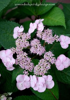 how to prune mop head and lace cap hydrangeas, flowers, gardening, how to, hydrangea