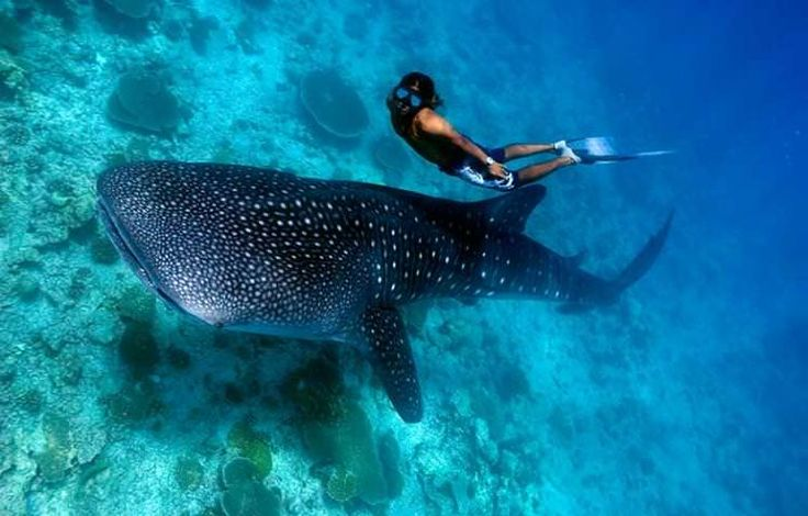 A freediver swimming alongside a whale shark. Image by Trent Burkholder / Getty Images.