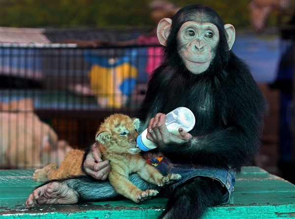 When the tiger met the chimpanzee (Rungroj Yongrit / EPA)Golden Tigers, Funny Pics, Monkeys, Animalfriends, Animal Friends, Bottle, Tigers Cubs, Baby Tigers, Animal Funny