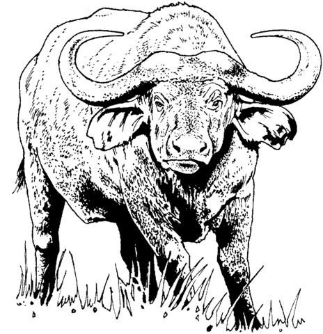African buffalo (Cape buffalo) coloring page from Cape